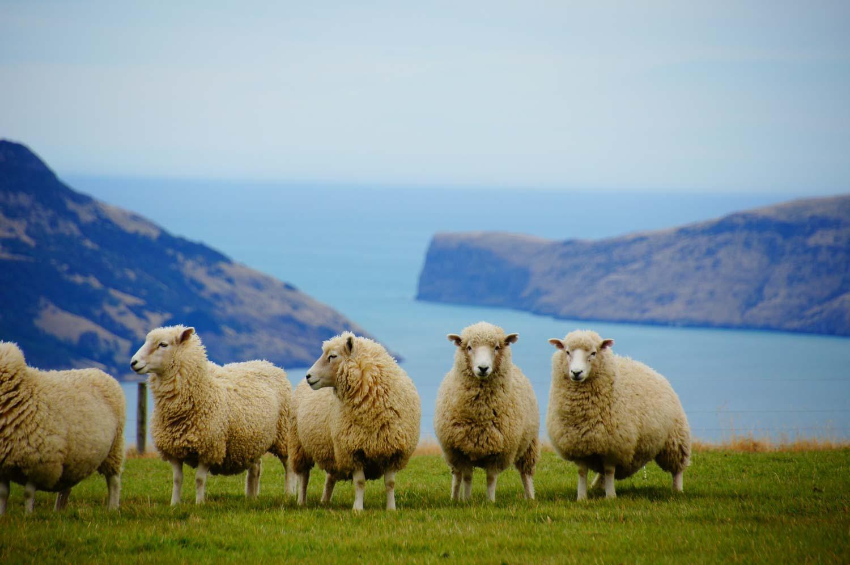 Práce v zemědělství na Novém Zélandu